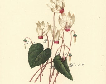 vintage botanical print by Pierre Redoute, white cyclamen flower, printable digital download no. 606