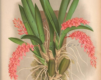 Antique orchid art print, for cottage style, shabby chic home decor, printable digital image no. 1310