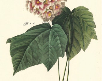 botanical digital download, Pink Dombeya, by Pierre Redoute, vintage printable digital download no. 1577