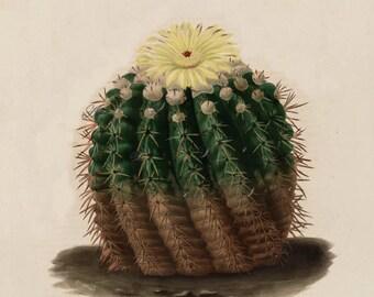 cactus print, an antique scientific illustration, printable digital image no.. 1609
