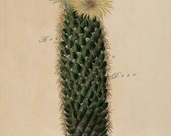 cactus print, an antique scientific illustration, printable digital download no. 1618