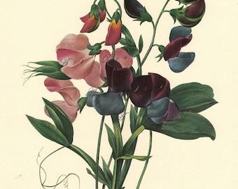Sweet Peas botanical print by Pierre Redoute, Lathyrus odoratus, a printable digital download no. 741