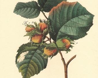 vintage botanical print of hazel nut by Pierre Redoute, vintage printable image no. 1563