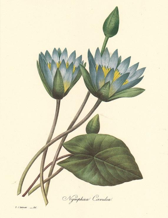 Planche De Botanique Vintage Par Pierre Redoute Nenuphar Bleu