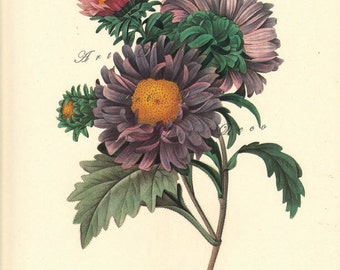 vintage botanical print by Pierre Redoute, Chinese Aster, printable digital image no. 1525