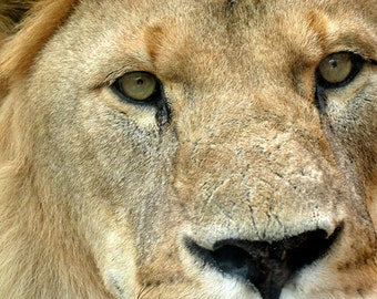 Lion Eyes Digital Download Print