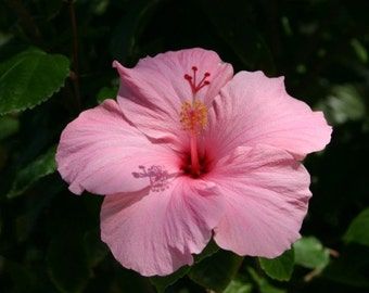 Bright Pink BLOOMING HIBISCUS