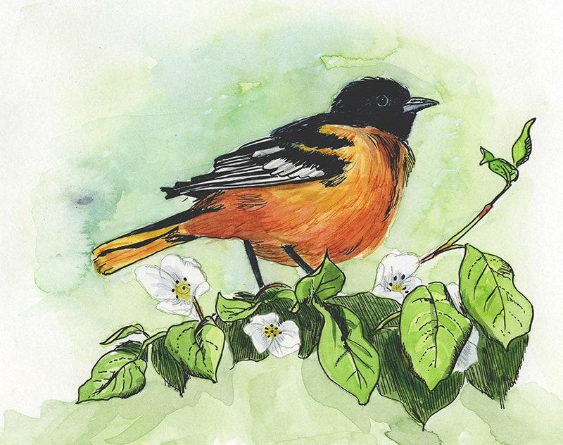 Vogel-Art: Baltimore Oriole 8.5 x 11 Archivierung Druck   Etsy