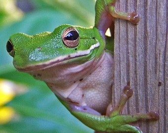 Green Tree Frog with Gold Eyes