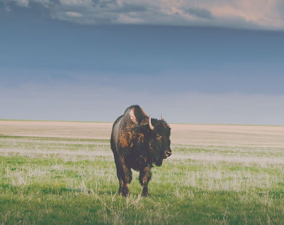 """Sunlight Bison"" - wall art"