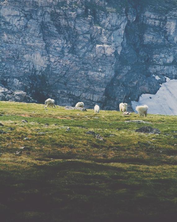 """Beartooth Mountain Goats"" - wildlife photography"