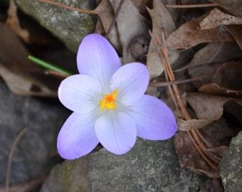 Spring Crocus Digital Photography 007c23980