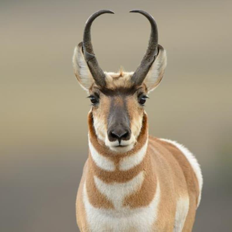 Populuxe Mid Century Modern Pronghorn Antelope Pin Sterling  Deer Brooch Desert Southwest Taxco Mexico Sonoran Desert