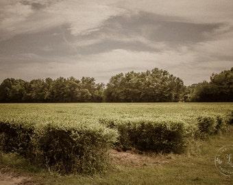 Charleston Tea Plantation Print