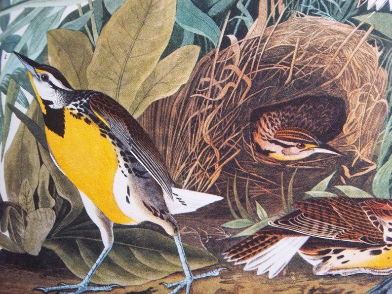 antique Audubon bird print 14 x 17  Meadow Lark image 0