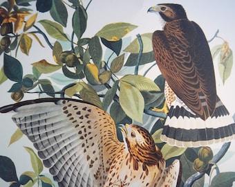VINTAGE 14 X 17 AUDUBON Broad Winged Hawk lithograph print VG condition
