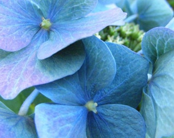 "Bestseller #6 - ""Tinge"" - Fine Art Flower Photograph - Picture of Blue Hydrangea Blossoms - 4x6, 5x7, 8x10, 11x14, 16x20"