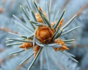 "Bestseller #10 - ""Prick"" - Nature Photograph - Abstract Evergreen Closeup - 4x6, 5x7, 8x10, 11x14, 16x20"