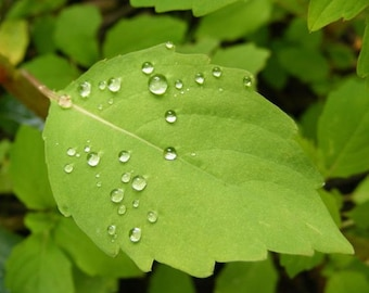 Balance - Nature Photo - Green Leaf with Water Droplets - 4x6, 5x7, 8x10, 11x14, 16x20