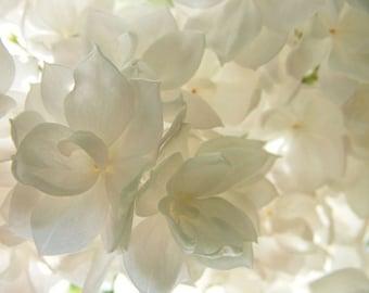 "Bestseller #7 - ""Translucence"" - Fine Art Flower Photography - White Lilac Closeup - Delicate Floral Print - 4x6, 5x7, 8x10, 11x14, 16x20"