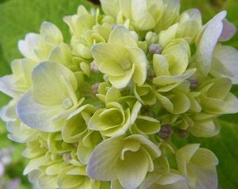 Bestseller #9 - Erratic - Floral Photography - Fine Art Nature Photograph - Blooming Hydrangea Wall Decor - 4x6, 5x7, 8x10, 11x14, 16x20