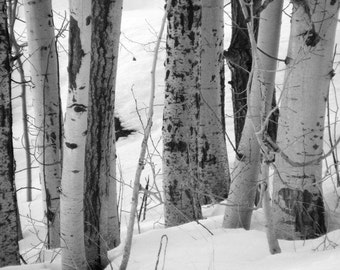 """Bestseller #8 - """"Crowd"""" - Black and White Nature Landscape Photograph - Picture of Birch Trees in Winter - 4x6, 5x7, 8x10, 11x14, 16x20"""