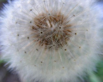 Float - Dandelion Photograph - Abstract Macro Nature Photography - 4x6, 5x7, 8x10, 11x14, 16x20