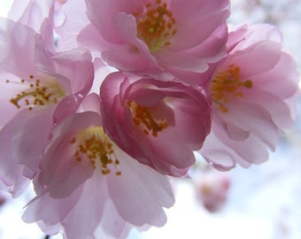 "Bestseller #11 - ""Blossoming"" - Flower Photo - Pink Cherry Blossom Photograph - Art for Girls Room - 4x6, 5x7, 8x10, 11x14, 16x20"