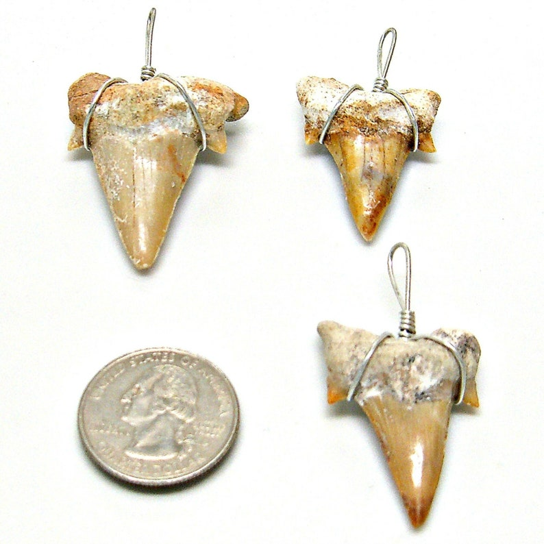 3 Piece Lot XXL Genuine Fossil Sharks Teeth Grade 'A' image 0