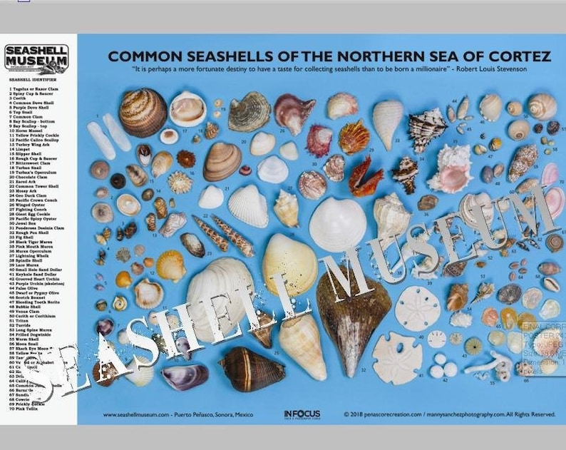 24 x 36 Poster Common SeaShells of the Northern Sea of Cortez image 0