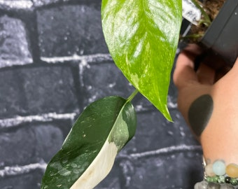 Epipremnum pinnatum Albo Variegata Live Plant #D