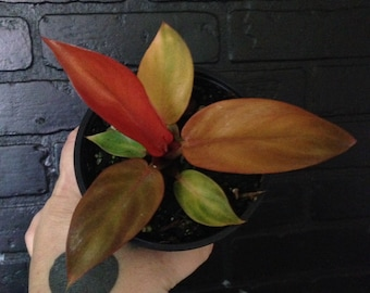 Philodendron selloum Red Sun