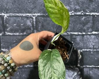 Epipremnum pinnatum Albo Variegata Live Plant #B