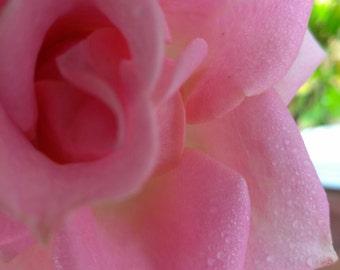 Pink rose close up stock photo image free use