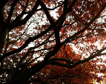 Autumn fall  foliage red tree stock photo image free use