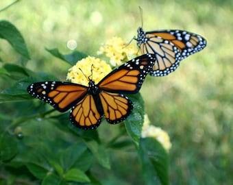Monarch butterfly butterflies digital download stock image free use