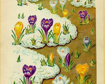 Crocus Vintage Illustration by Edith Johnston from A Book Of Garden Flowers