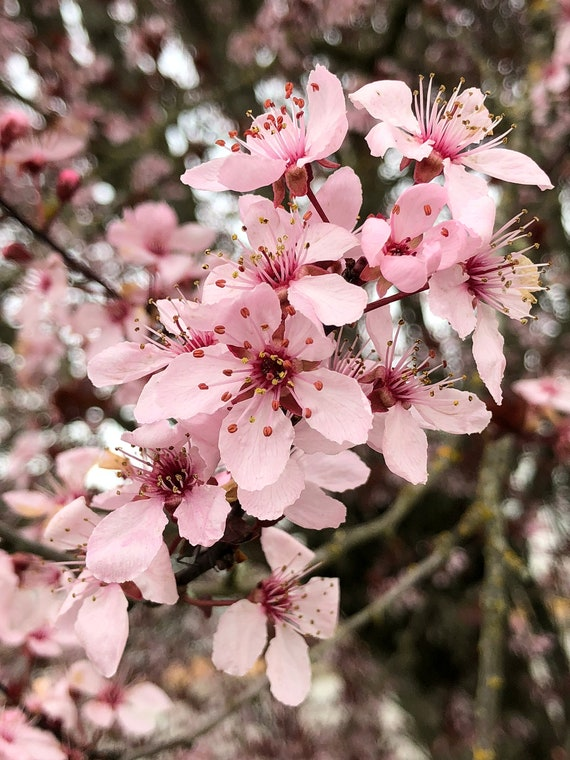 Real Cherry Blossom Flower