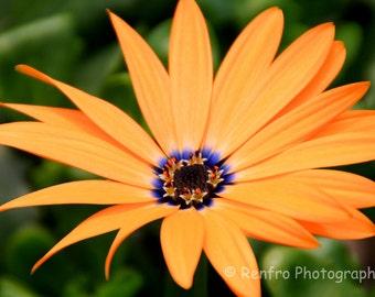 Orange Daisy - Fine Art Photography - Floral Print - Home Decor - Orange - Purple - green - Wall Art - Garden - Summer - Flowers - Renfro