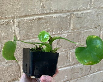Philodendron Grazielae  - Rare House Plant  - Rooted cutting