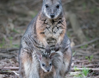 Mother Wallaby and Joey photo print - Australian wildlife photography print for nursery nature art mother and baby Australia animal woodland