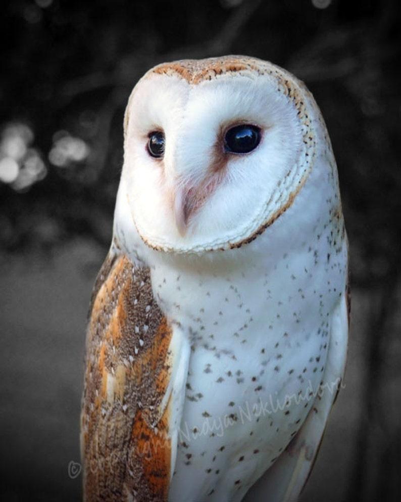 owl decor Barn Owl photo print barn owl print wise owl bird photography wildlife photography Fine Art photography barn owl wall art