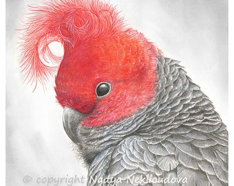 Gang-Gang Cockatoo art print - wildlife art, Australian bird art nature watercolour parrot art, modern bird wall art realistic bird painting