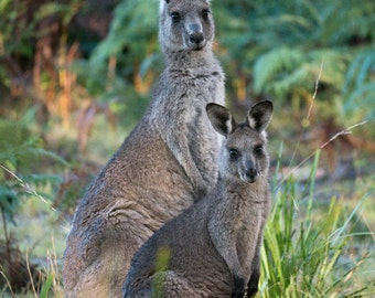 Kangaroo Family photo print - wildlife photography, kangaroo print, nursery decor, Australian animal art print, mother and child, Australia