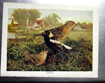 Bobolinks- 1897 Antique Colorized Bird Photograph Illustration