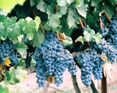 Wine Country Grapes...