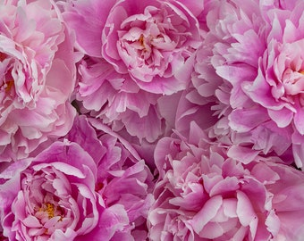 Peonies, Stock image, Photo for commerical use, Royalty Free Stock Photo for Social Media for bloggers, flower background, pink background