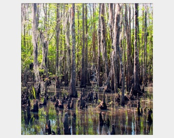 Bayou Photograph, Honey Island Swamp Photograph, Cypress Trees Photo, Louisiana Wall Art, Green Brown Gray Art, Cajun Wall Art, Low Country