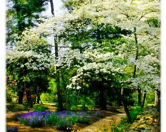 UNC-Chapel Hill Coker Arboretum Dogwoods