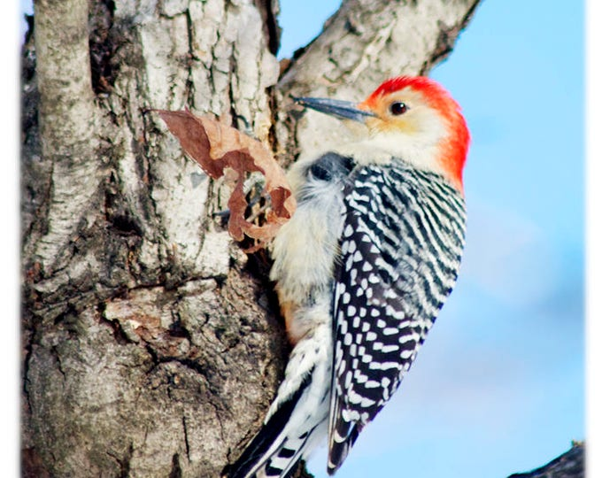 Featured listing image: Red-Bellied Woodpecker